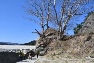 片岸町の海岸で津波に耐えたケヤキを眺める参加者