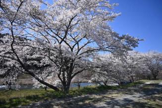 気仙川の河川敷を鮮やかに彩る桜並木