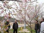 「感謝の桜」つなぐ絆 山田の仮設跡地付近、元住民が植樹