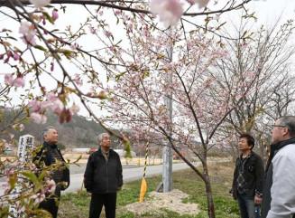 解体が進んだ仮設住宅跡地(画面奥)そばに植えた桜の花を見ながら、年月の経過に思いをはせる元住民ら