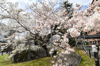 見頃を迎えた石割桜=盛岡市内丸・盛岡地裁敷地内