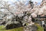 盛岡の桜、最速満開 平年より12日早く