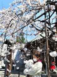 垂れた枝にかれんに咲く白い花が特徴のモリオカシダレ