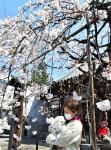 【いわて桜めぐり】龍谷寺のモリオカシダレ (盛岡市名須川町)