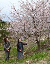 開花した桜を見守る山口紀代子さん(右)、新沼慶子さん姉妹
