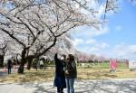 開園100周年の春満開 北上展勝地さくらまつり開幕