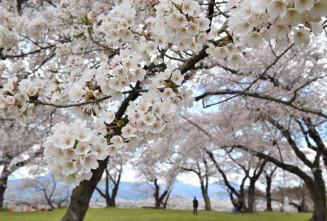 18種の桜が植えられ、見頃を迎えた城山公園