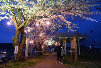 ソメイヨシノがライトアップされ、幻想的な雰囲気の巽山公園