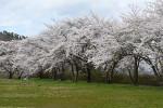 【いわて桜めぐり】愛宕山公園(花巻市大迫町)