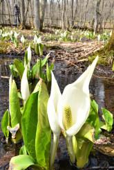 湿地に群生するミズバショウ=19日、紫波町山屋