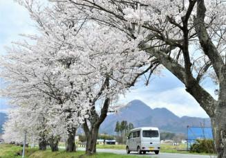 南昌山(中央奥)に向かって延びる約1キロの桜並木