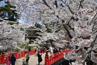 数多くの桜が競うように咲き誇る弘前公園
