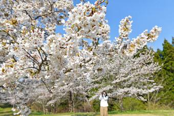 青空と満開の花のコントラストが美しい一戸町総合運動公園の桜
