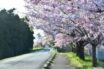 和賀川沿いを鮮やかなピンク色に染める桜並木