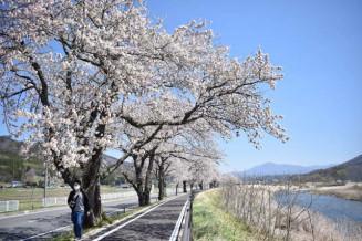 爽やかな風が吹き抜ける桜並木