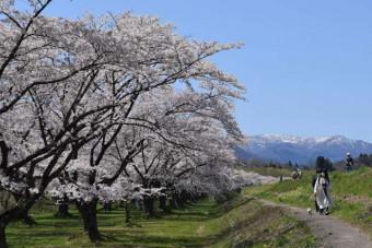 150本の桜が咲き誇る雫石川園地の桜並木
