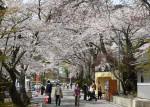 【いわて桜めぐり】花巻温泉郷の桜並木(花巻市湯本)