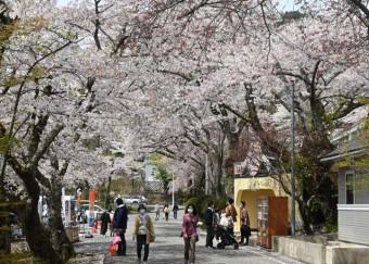 観光客を魅了する花巻温泉郷の桜並木