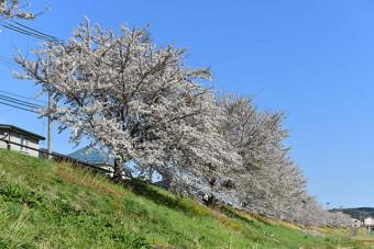 軽米町中心部を流れる雪谷川沿いに連なる桜並木