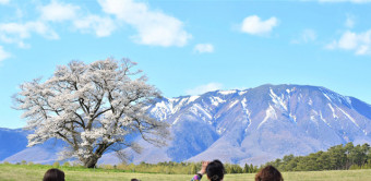 見頃を迎えた小岩井農場の一本桜。雄大な岩手山との共演をカメラに収める人々でにぎわっている=26日、雫石町