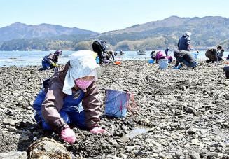 青空の下、砂地をかいてアサリを探す漁業者。春の浜が活気に満ちた