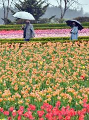 しっとりと雨にぬれ、鮮やかさを増したチューリップ=29日、一関市藤沢町・館ケ森アーク牧場