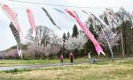 【いわて桜めぐり】猿橋農村公園の桜並木(西和賀町沢内猿橋)
