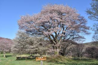 ピンクと白の花びらが重なり合う県民の森の夫婦桜