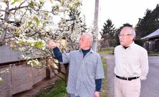 接ぎ木したイワテヤマナシの生育を見守る菊地憲野さん(左)と千葉博美さん