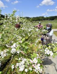 青空の下、リンゴの花の授粉作業に励む作業員=12日、奥州市江刺伊手