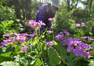 見頃を迎えたサクラソウ。鮮やかなピンク色が緑に映える=13日、盛岡市東松園・松園子ども自然観察園