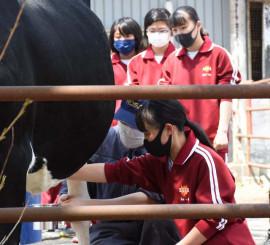 牛の搾乳体験を行う川口中の1年生