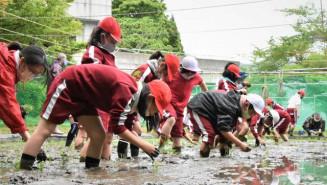 田植えに挑戦する白山小の児童