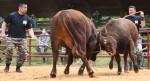 火花散らす若牛の熱戦 久慈で平庭闘牛わかば場所