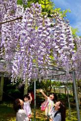 甘い香りを漂わせながら咲き誇る「藤島のフジ」=20日、一戸町小鳥谷