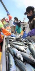 漁船から次々に水揚げされるマサバ
