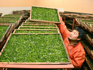 鮮やかな緑色のコンブを乾燥させる砂合広喜さん=21日午前4時50分、普代村