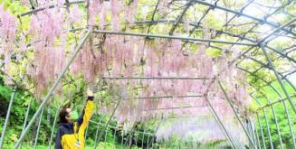 初公開するフジの花のトンネル
