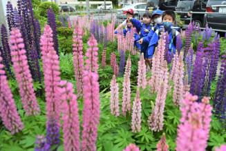 ピンクや紫、鮮やかに咲くルピナス=24日、盛岡市永井