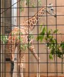 キリン「ユン」仲間入り 盛岡市動物公園、雄リンタの伴侶に