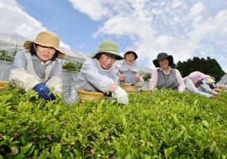 青空の下、気仙茶を摘み取る参加者=30日、陸前高田市米崎町