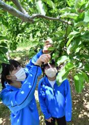 リンゴの摘果作業を体験する宮古北高の生徒