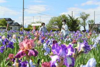 色とりどりの花を咲かせるジャーマンアイリス=2日、矢巾町煙山