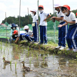 水田を泳ぐアイガモの姿に歓声を上げる児童