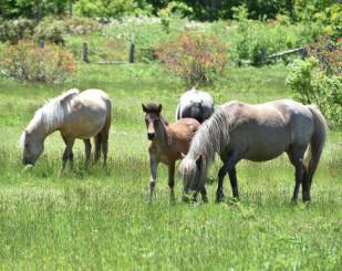 中のまきばに放たれ、のんびりと草をはむ馬たち