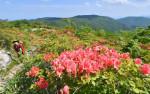 色鮮やか 五葉山の初夏 ヤマツツジ、青空に映え