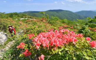五葉山の登山道を彩るヤマツツジ=7日、4合目手前