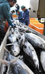 今季初水揚げされたカツオ。銀色に輝く魚体が三陸に初夏の訪れを告げた=8日、大船渡市大船渡町