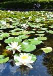 輝く緑 色付く水面 盛岡・岩手大でスイレン見頃