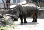 国内最高齢シロサイ天国へ 盛岡市動物公園、サイカ46歳